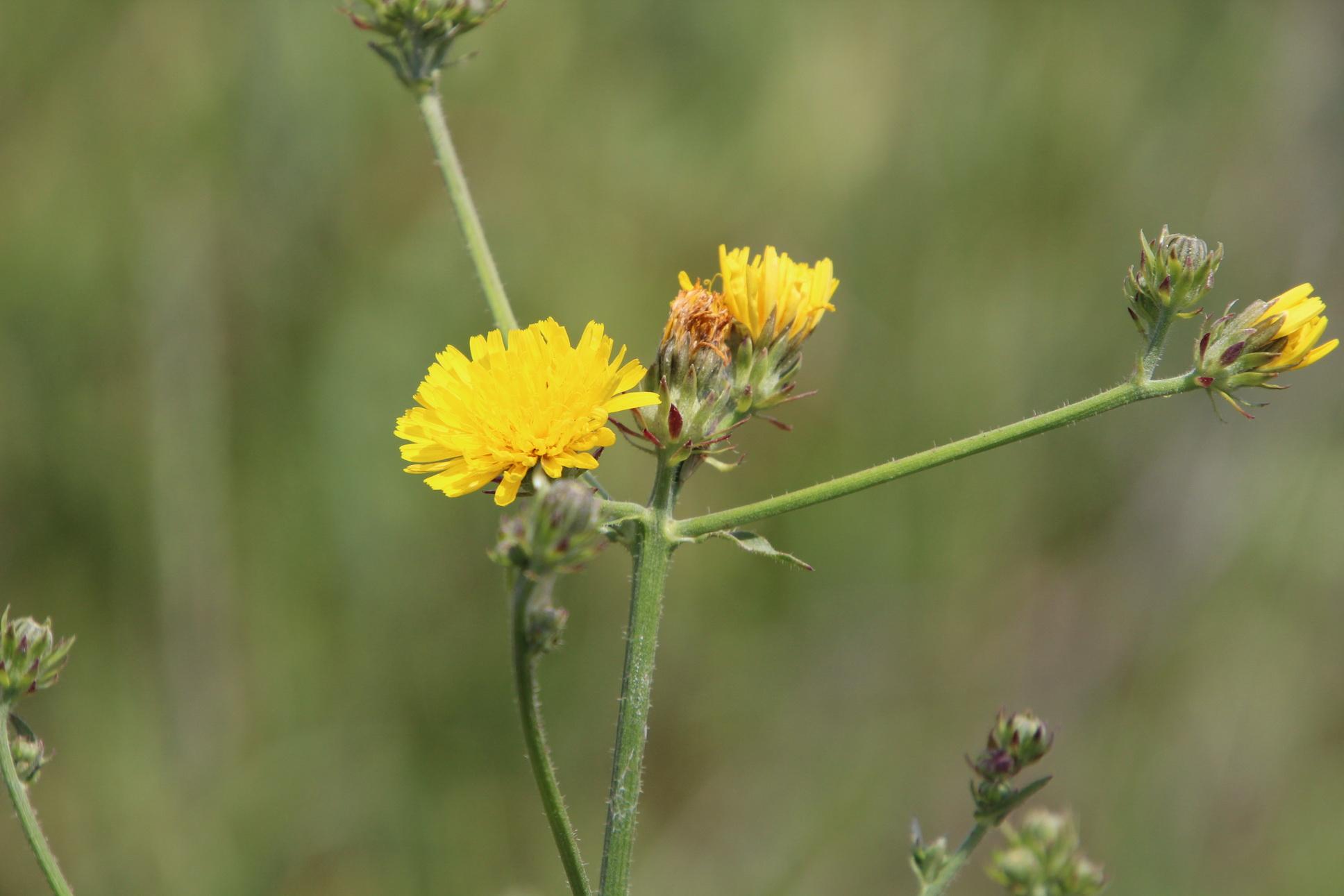 Helminthotheca hieracioides. Európa növényvilága