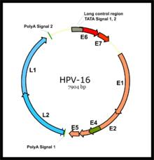 hpv vírus nz nagy szemölcsök intim helye