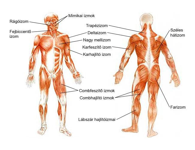 Izom helminták kezelése, Izomsérülések: zúzódás, izomszakadás, vérömleny