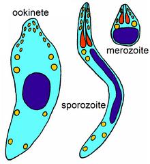 egyéb apicomplexan paraziták