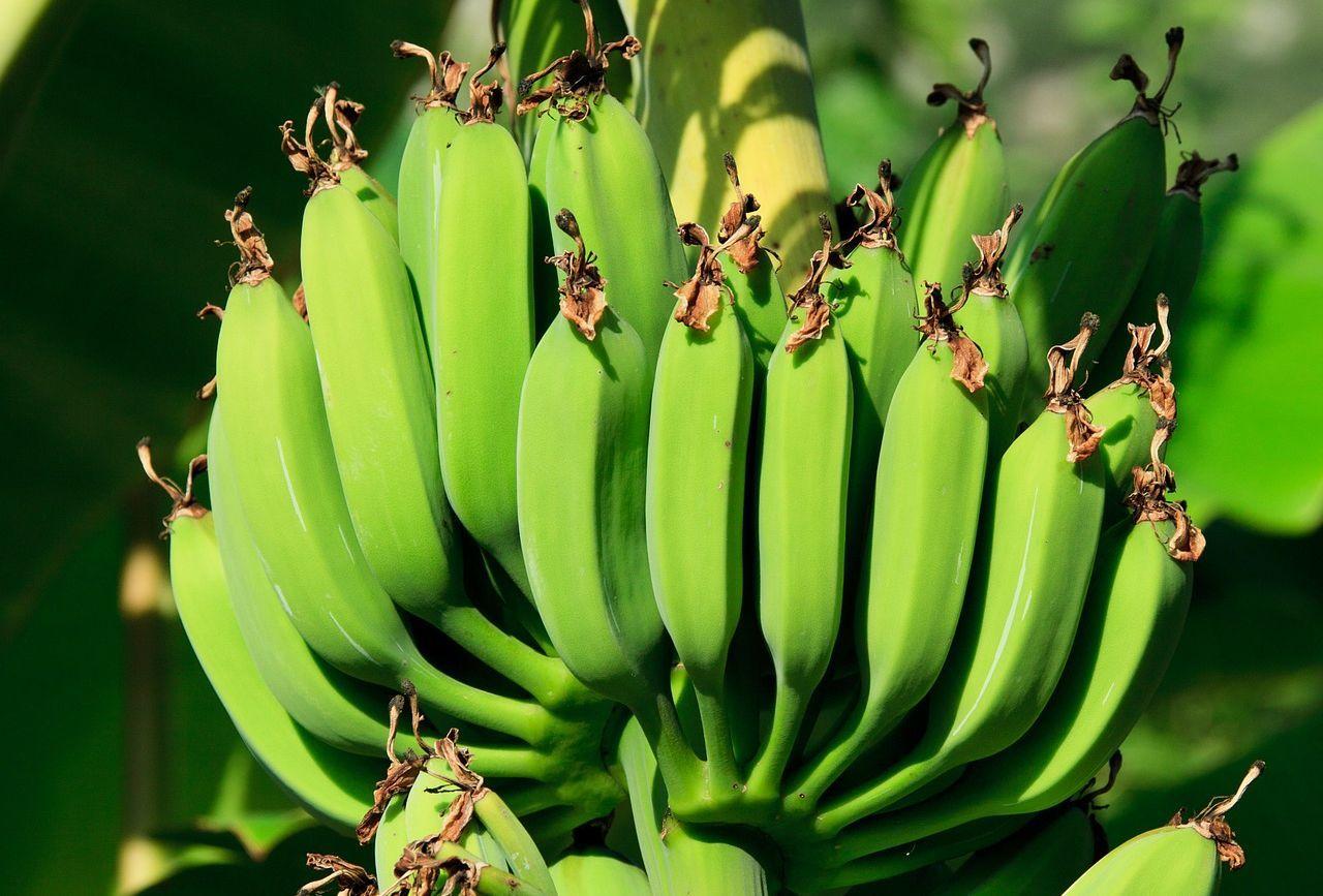 Ellepték a banánnövények Magyarország déli csücskét