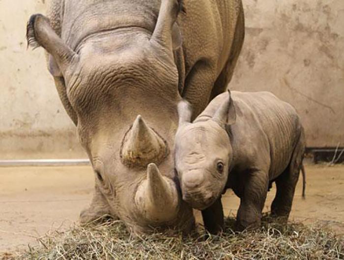 Baba orrszarvú az állatkert új sztárja   TEOL