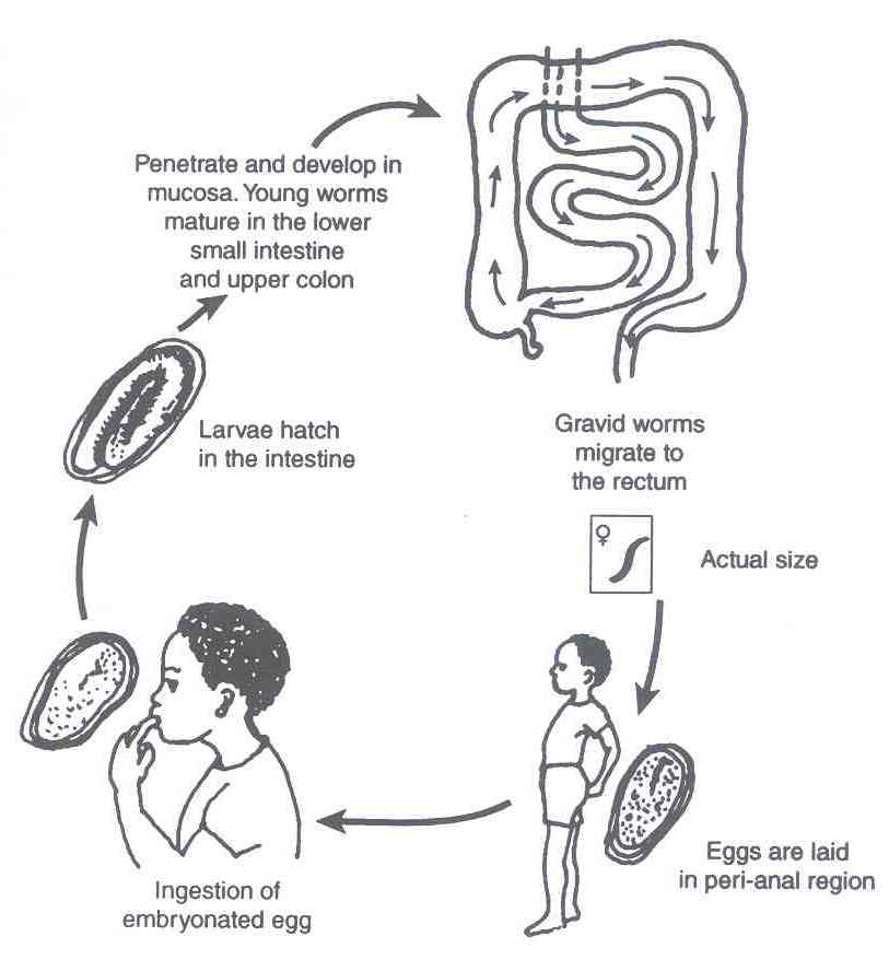 Enterobius vermicularis (Gombféreg), Enterobiosis életciklus
