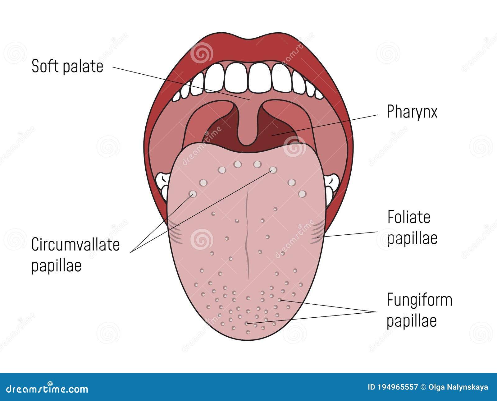 vallate papillae nyelv kezelése