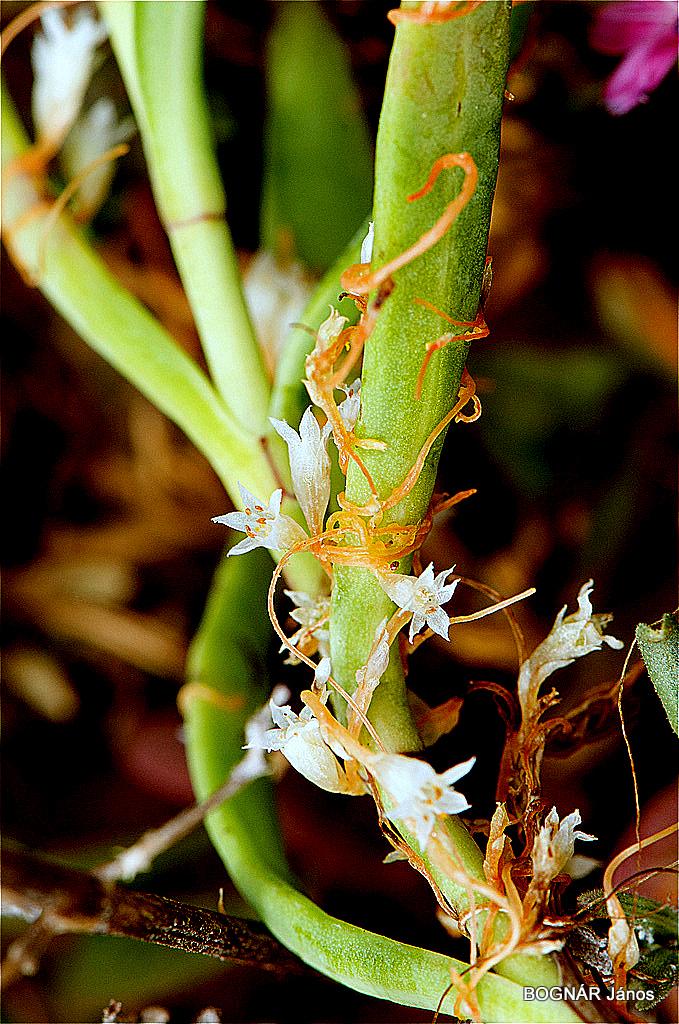 Hemiparazita - Paraziták és félparaziták