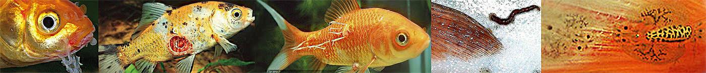 A halak parazitái: veszélyesek és biztonságosak az ember férgek számára - Édesség