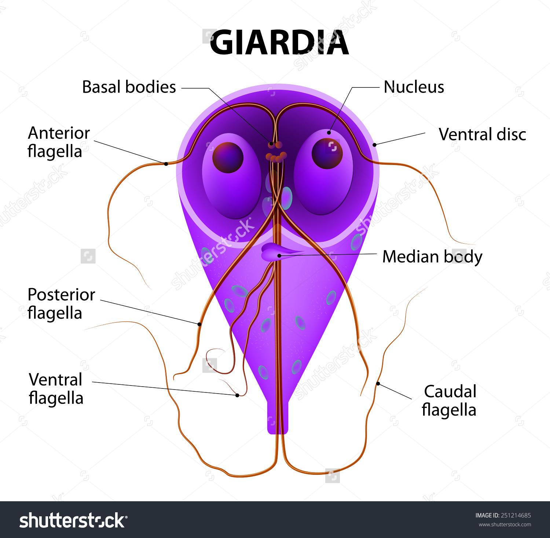 giardia a városi vízben a legjobb gyógyszer a helminták ellen