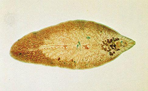 fascioliasis morfológiája