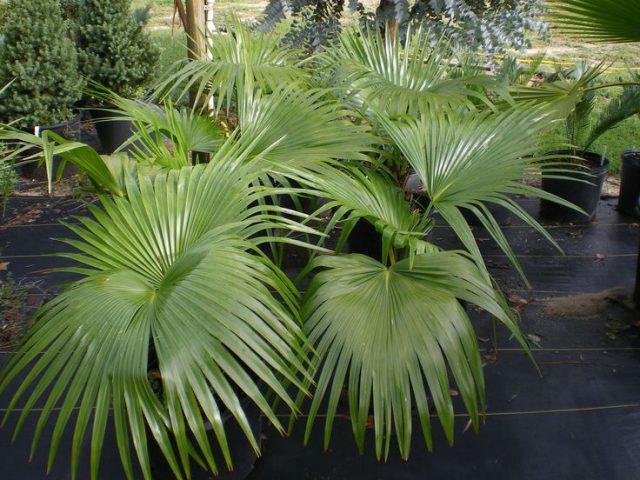 Növényvédelem | Digitális Tankönyvtár Helminthosporium levél foltos kezelés