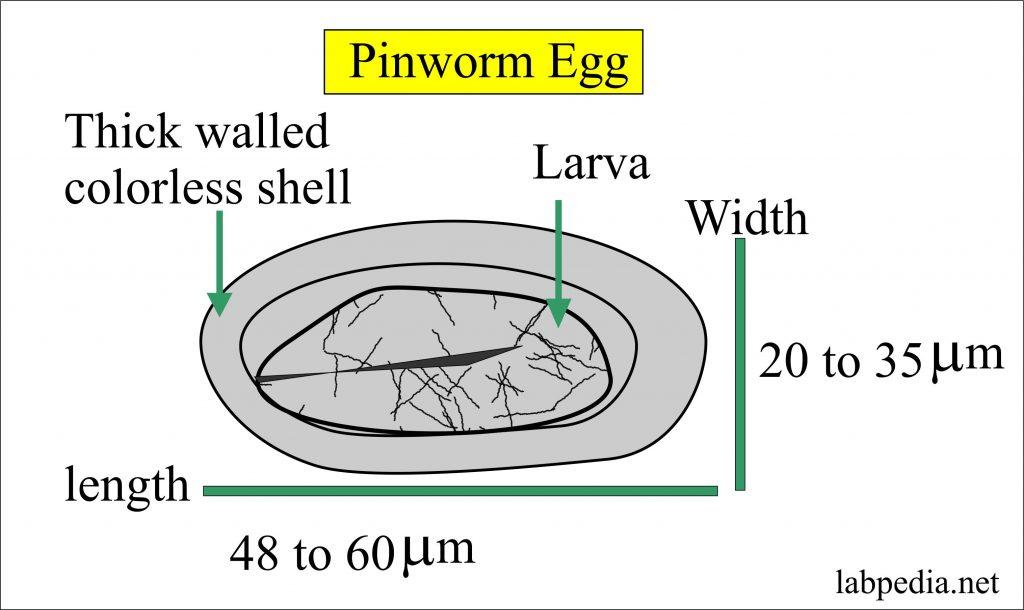 Pinworm élő születés