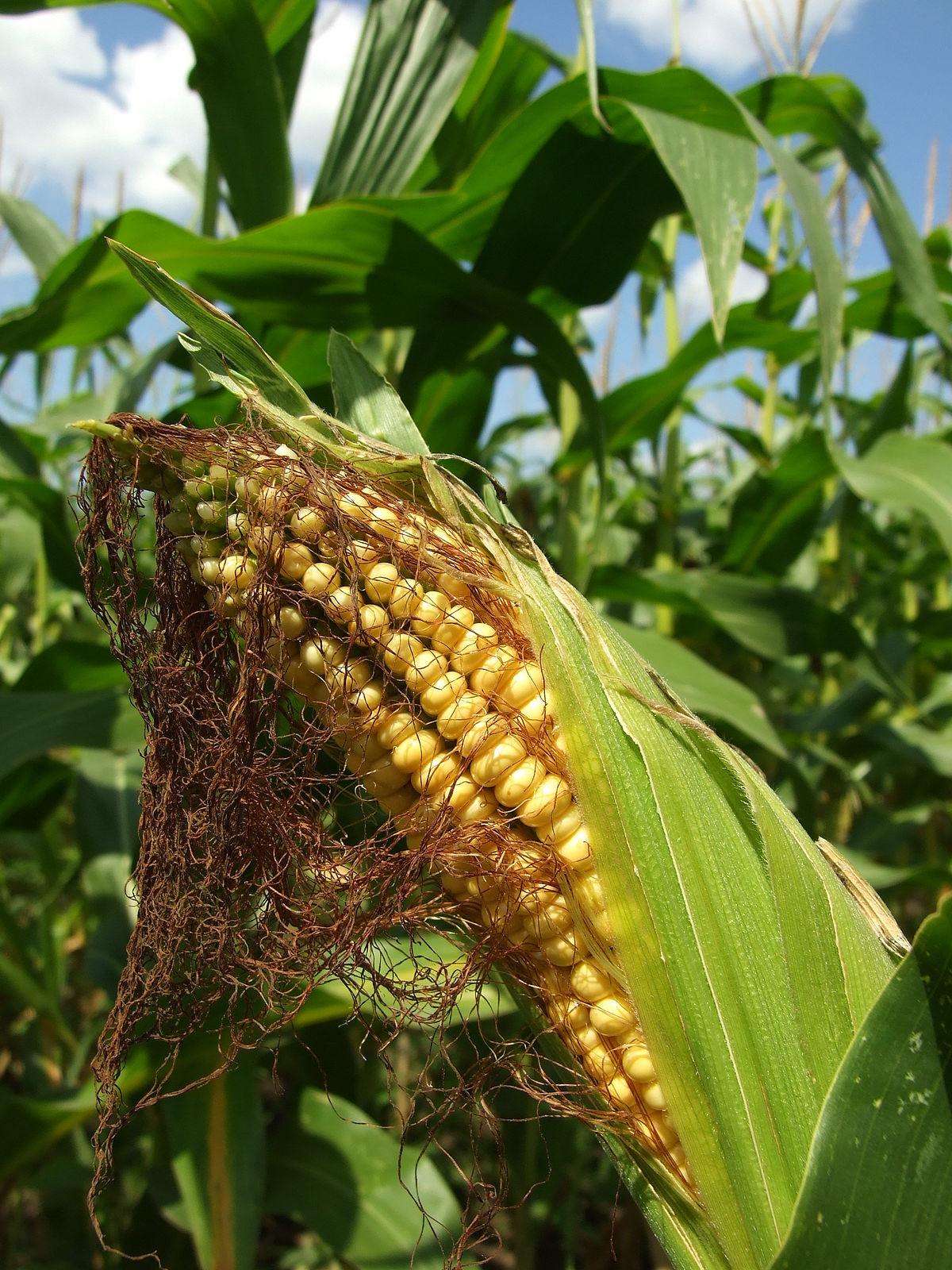 kukoricacső