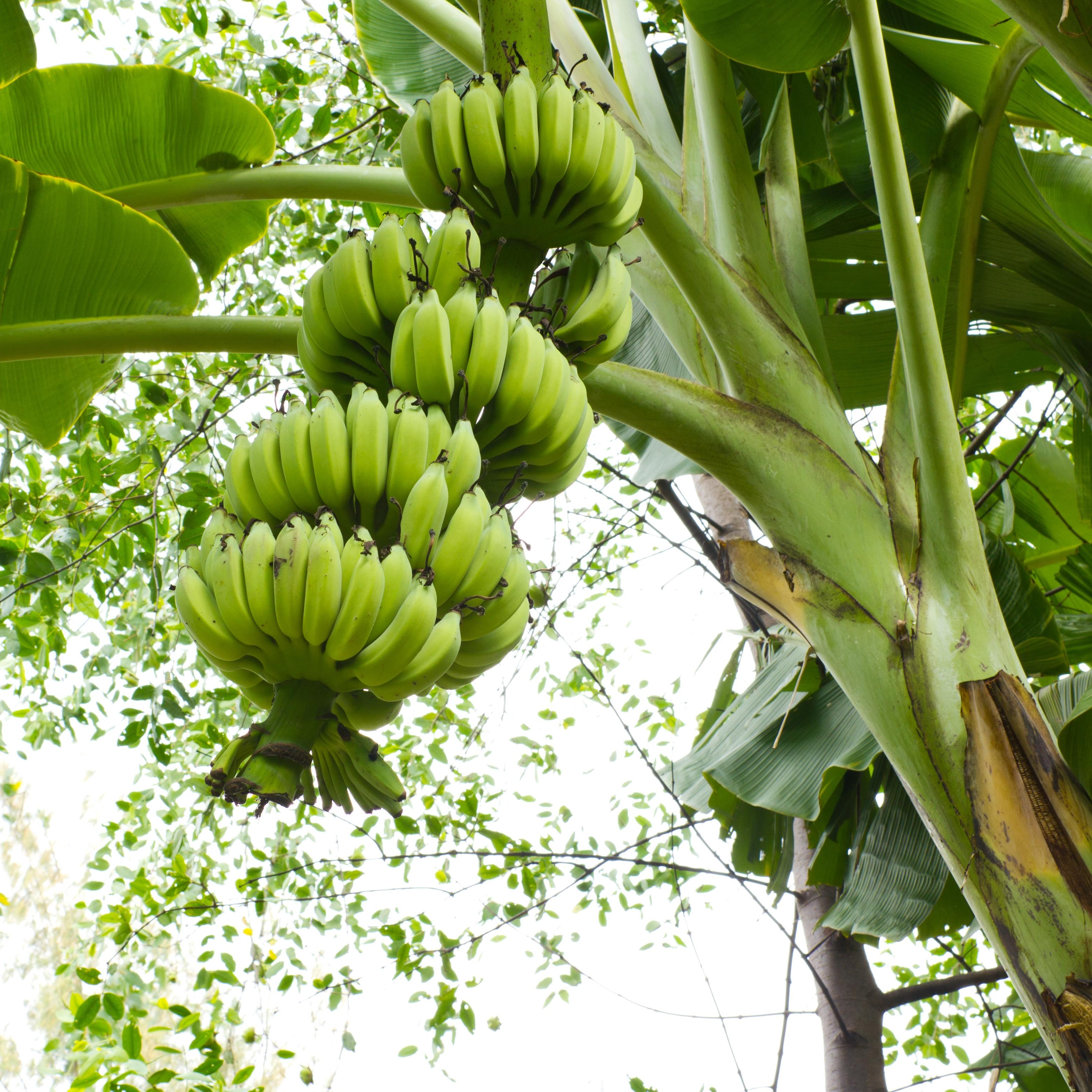 növényi banánt