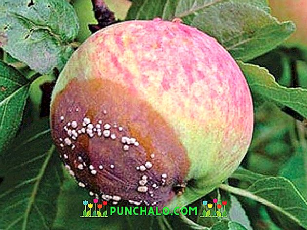 a gyümölcsfák bakteriális rákja