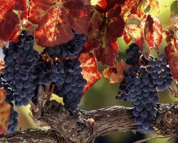 bakteriális rák a szőlőben