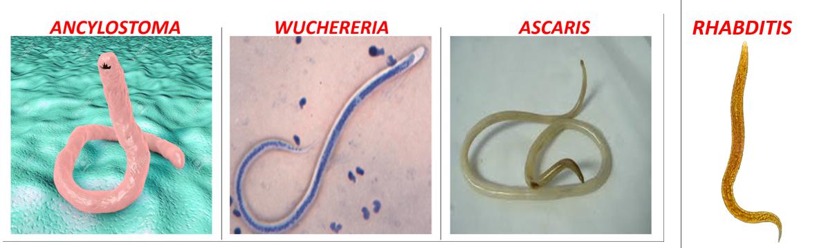 Aschelminthes jelentése. Aschelminthes ascaris
