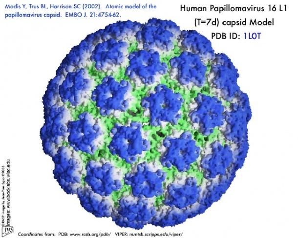 Fekete nemi szemölcsök - Papillomavírus mal-szurdok