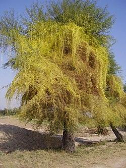 parazita fű fénykép