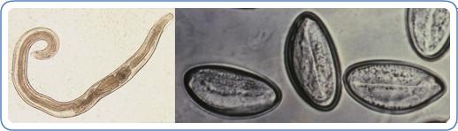a legegyszerűbb, amelyet a parazitáknak lehet tulajdonítani gyógyszerek férgek kezelésére ár