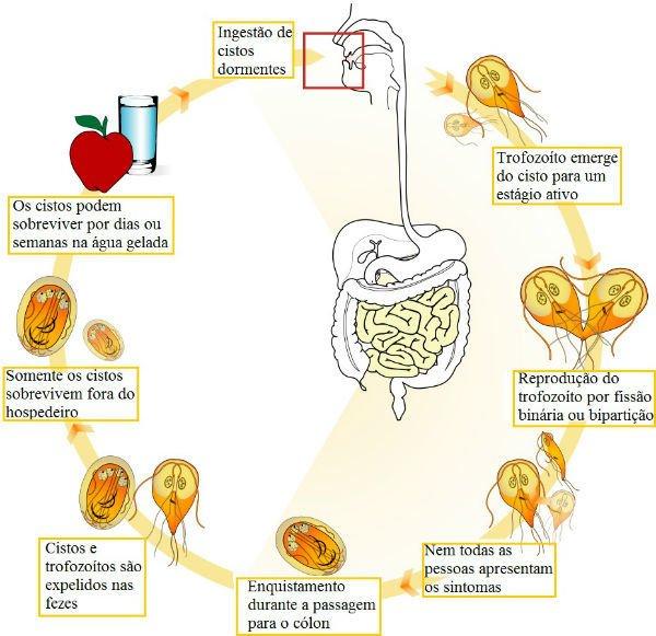 giardia tünetek az egérben