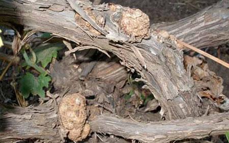 Mit tehetünk a szőlő agrobaktériumos betegsége esetén?