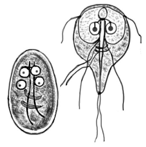 Giardia jelitowa objawy, Pierwotniak giardia u kota