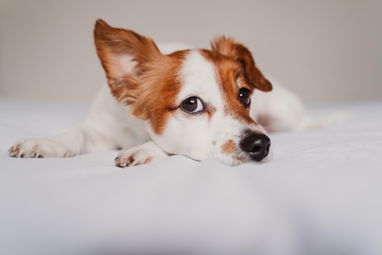 Giardia elleni oltas. Kutyák giardia fertőzése