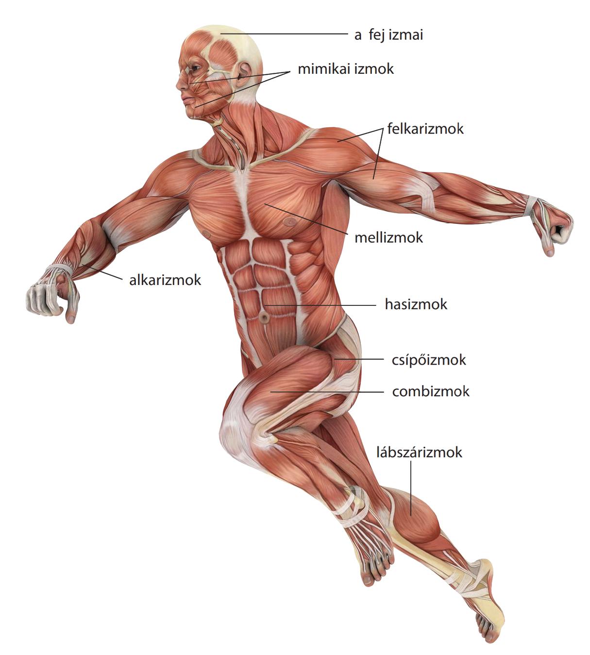 Ascaris emberi mozgás