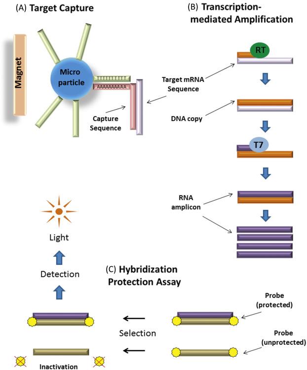 humán 45. típusú papillomavírus