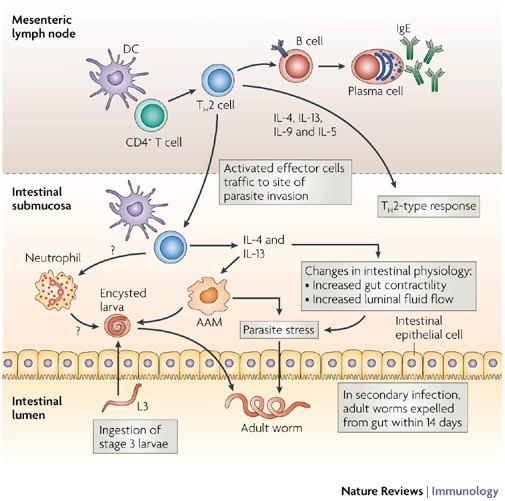 helmint fertőzések immunválasz