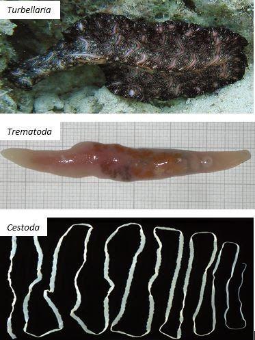 Dunia hewan nemathelminthes Törzs: Puhatestűek – Mollusca