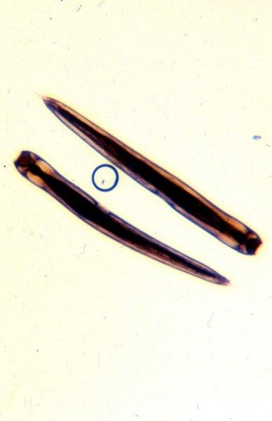 oxyuris equis rektális papilloma vírus