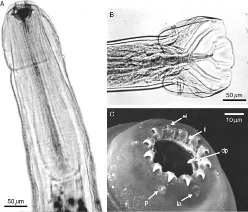 Frommectin injekció, Oesophagostomum venulosum paraziták