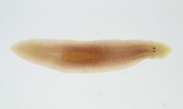 szorbensek a férgek kezelésében