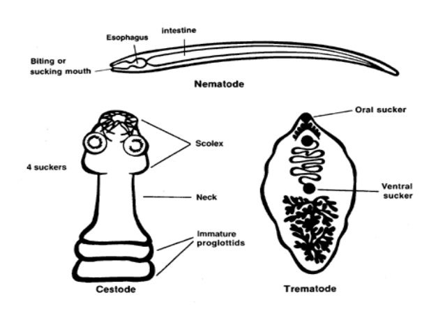 Filo platyhelminthes classe cestoda, LAPOSFÉRGEK. 5. szövegdoboz. A laposférgek osztályozása: