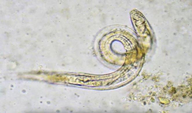 parazita kódú baba