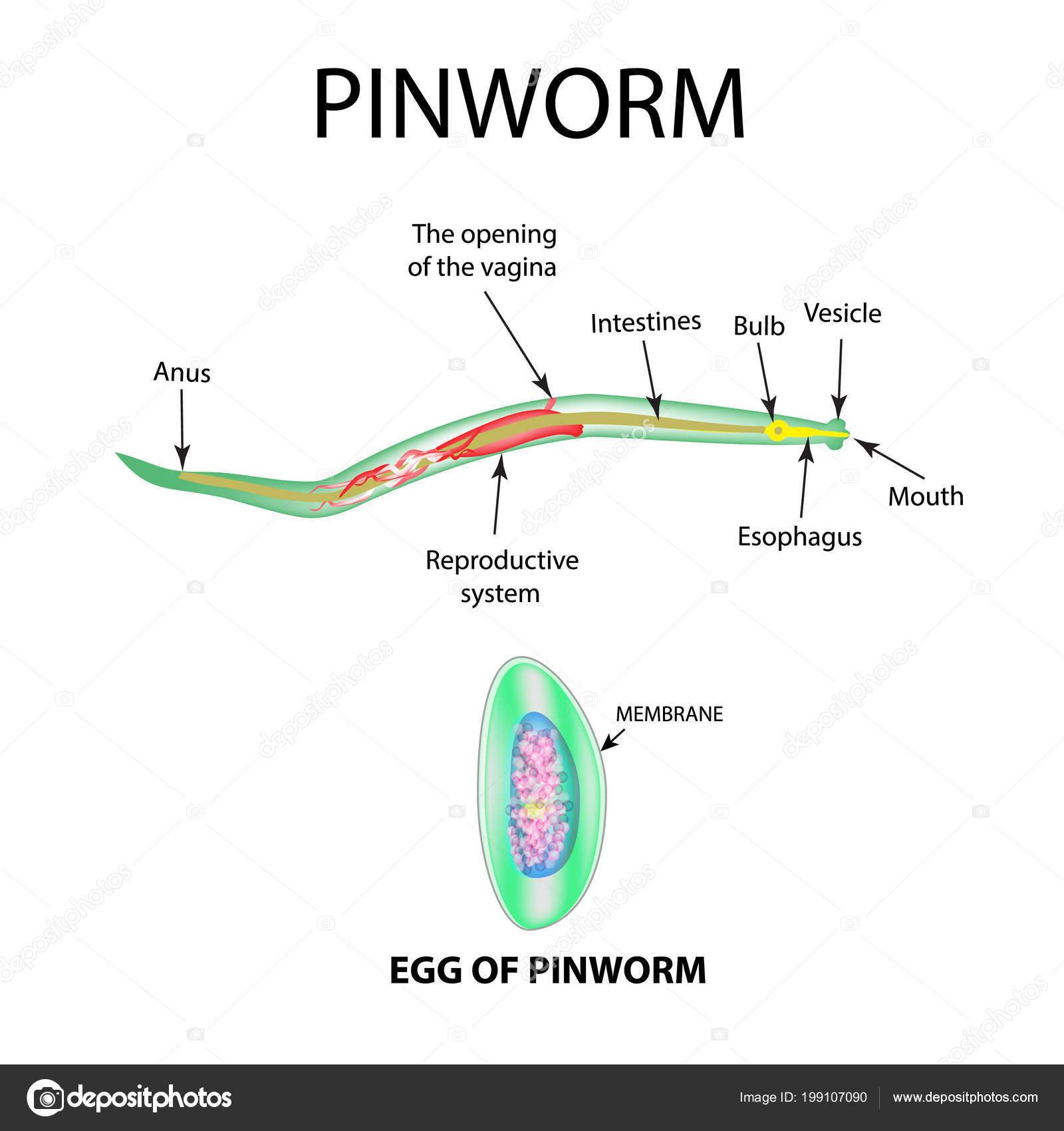 Pinworm fejlesztési szakasz táblázata - carbocomp.hu